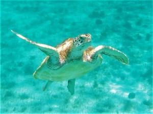 Tobago Cays turtles 2