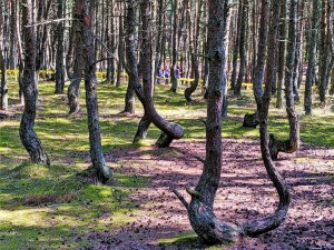 Russia - Kaliningrad - Curonian Spit - Dancing Trees 1