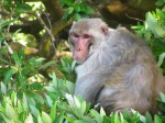 Cayo Santiago monkey