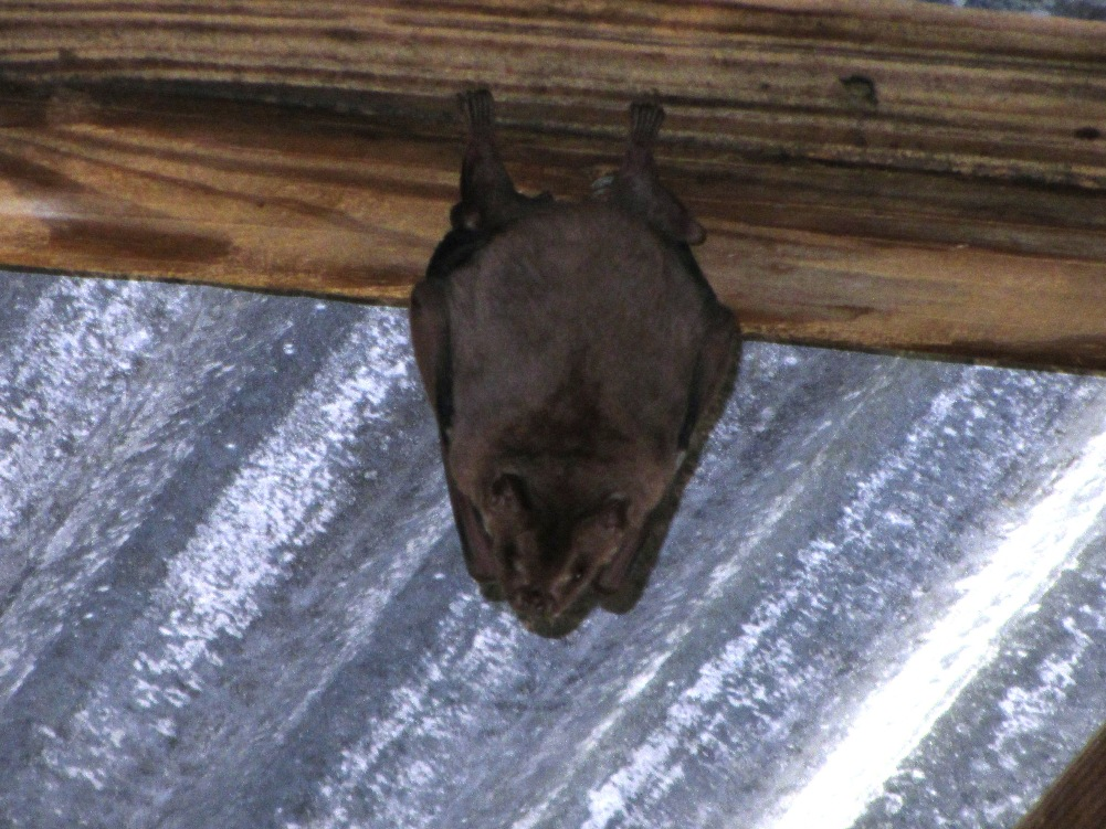 A bat hanging out