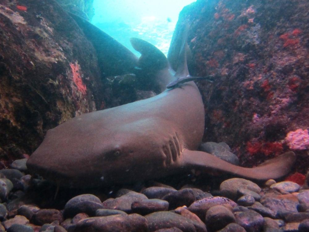 Nurse shark laying in a cut