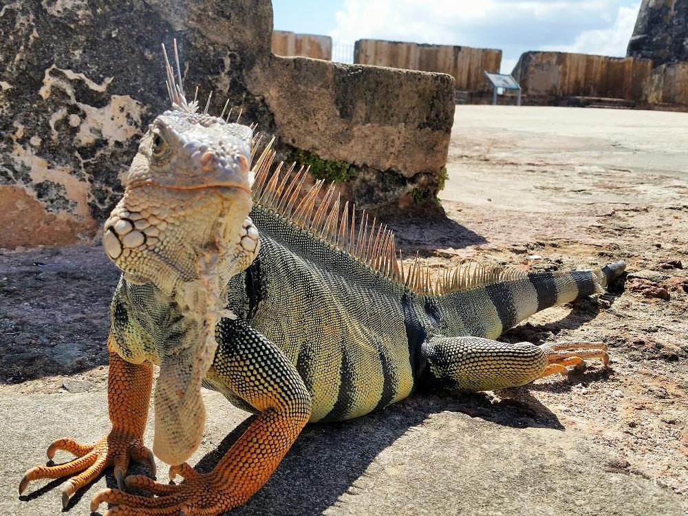 Iguana At San Juan Fort