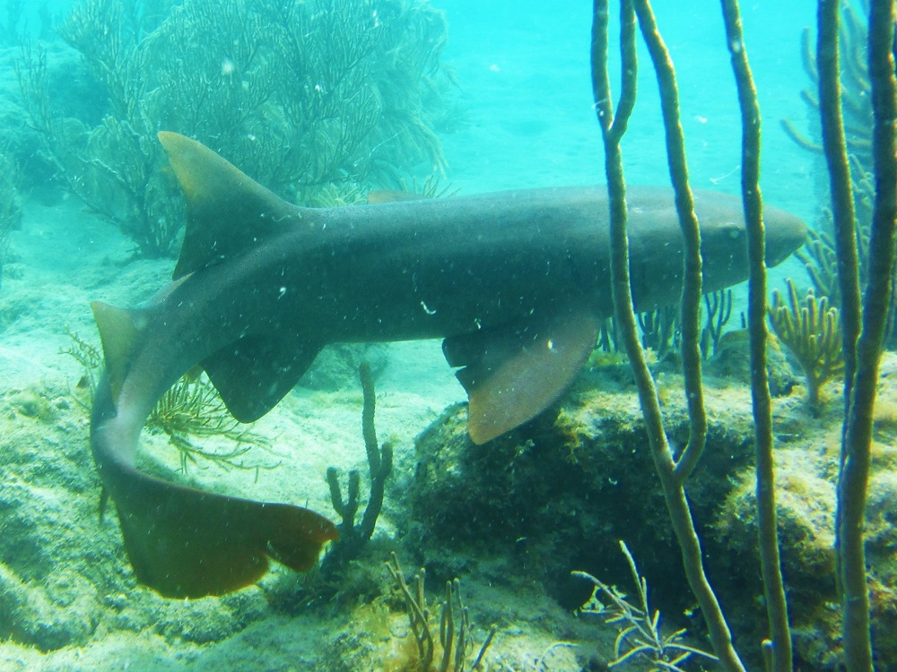 Nurse Shark - Swimming Away