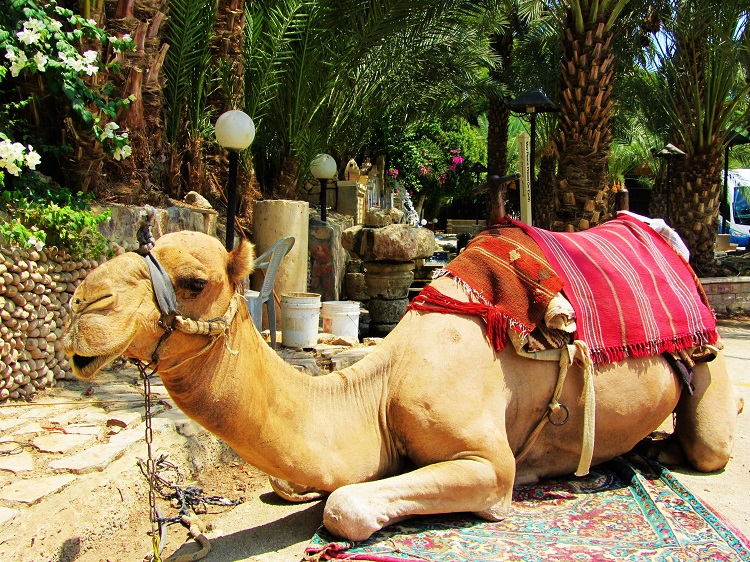 Israel - Jericho - Camel