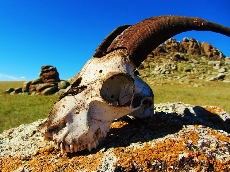 mongolia-potd-9-goat-skull