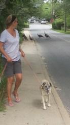 Wild turkey crossing