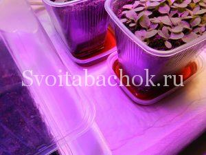 तंबाकू रोपण भोजन