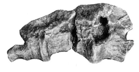 mamenchisaurus-tail-thingy