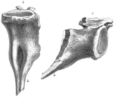 Owen (1850: plate V, figs 3-4)