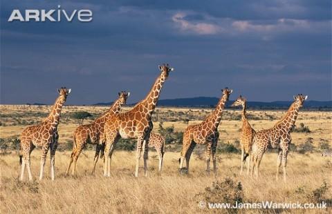 Herd-of-reticulated-giraffe