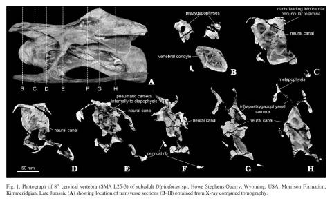 From another sauropod paper in Acta Palaeontologica Polonica: Schwarz et al. (2007: fig. 1), showing CT scans of a Diplodocus cervical