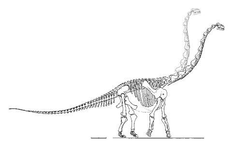 Alamosaurus skeleton reference 480