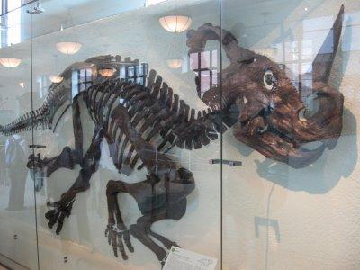 AMNH_Centrosaurus_oblique_June-2009