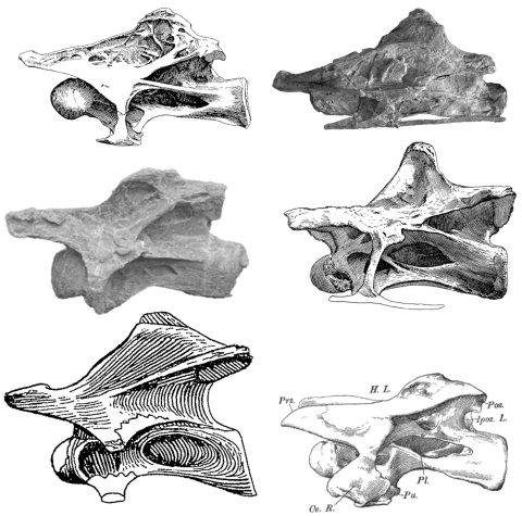 "8th/9th cervicals vertebrae of various sauropods, scaled to the same centrum length.  ""Brachiosaurus"" brancai, Sauroposeidon; Qiaowanlong, Diplodocus; Haplocanthosaurus, Camarasaurus"