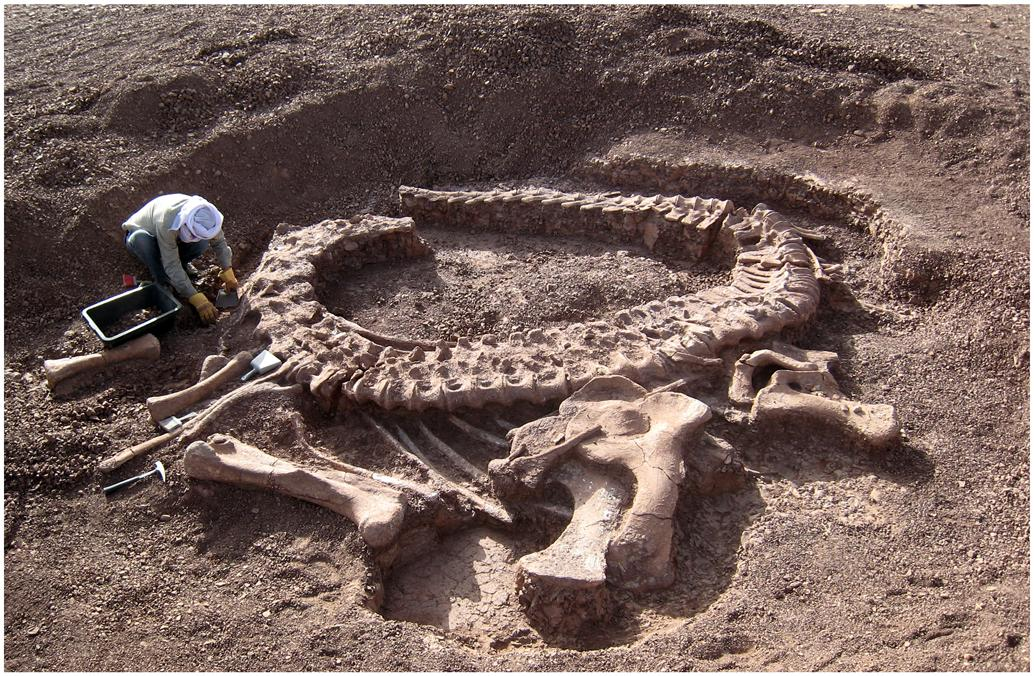 Spinophorosaurus nigerensis, holotype skeleton GCP-CV-4229 in situ during excavation in the region of Aderbissinat, Thirozerine Dept., Agadez Region, Republic of Niger (Remes et al. 2009:fig. 1)