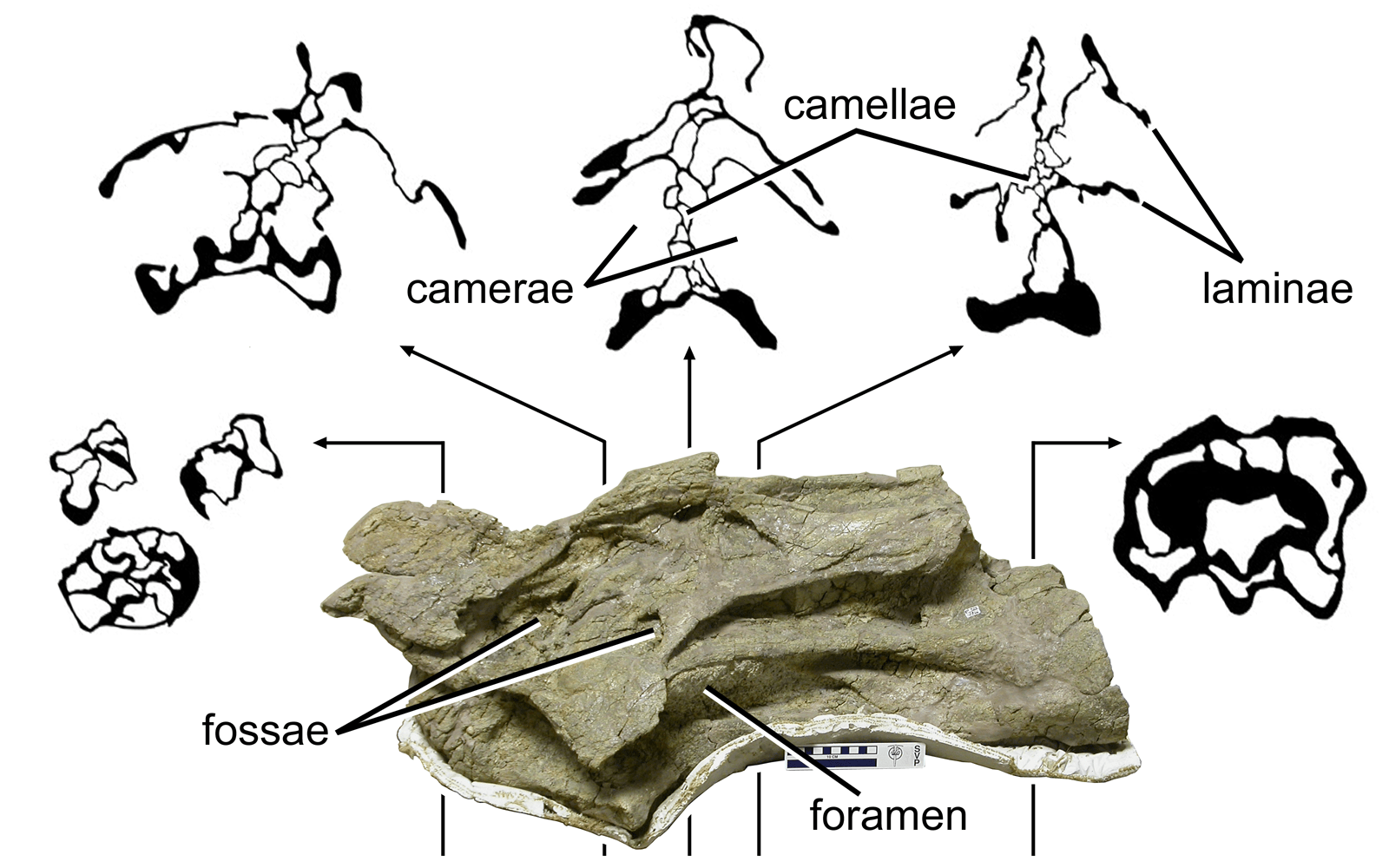 CT cross sections of BYU 12866, a mid-cervical of Brachiosaurus sp.