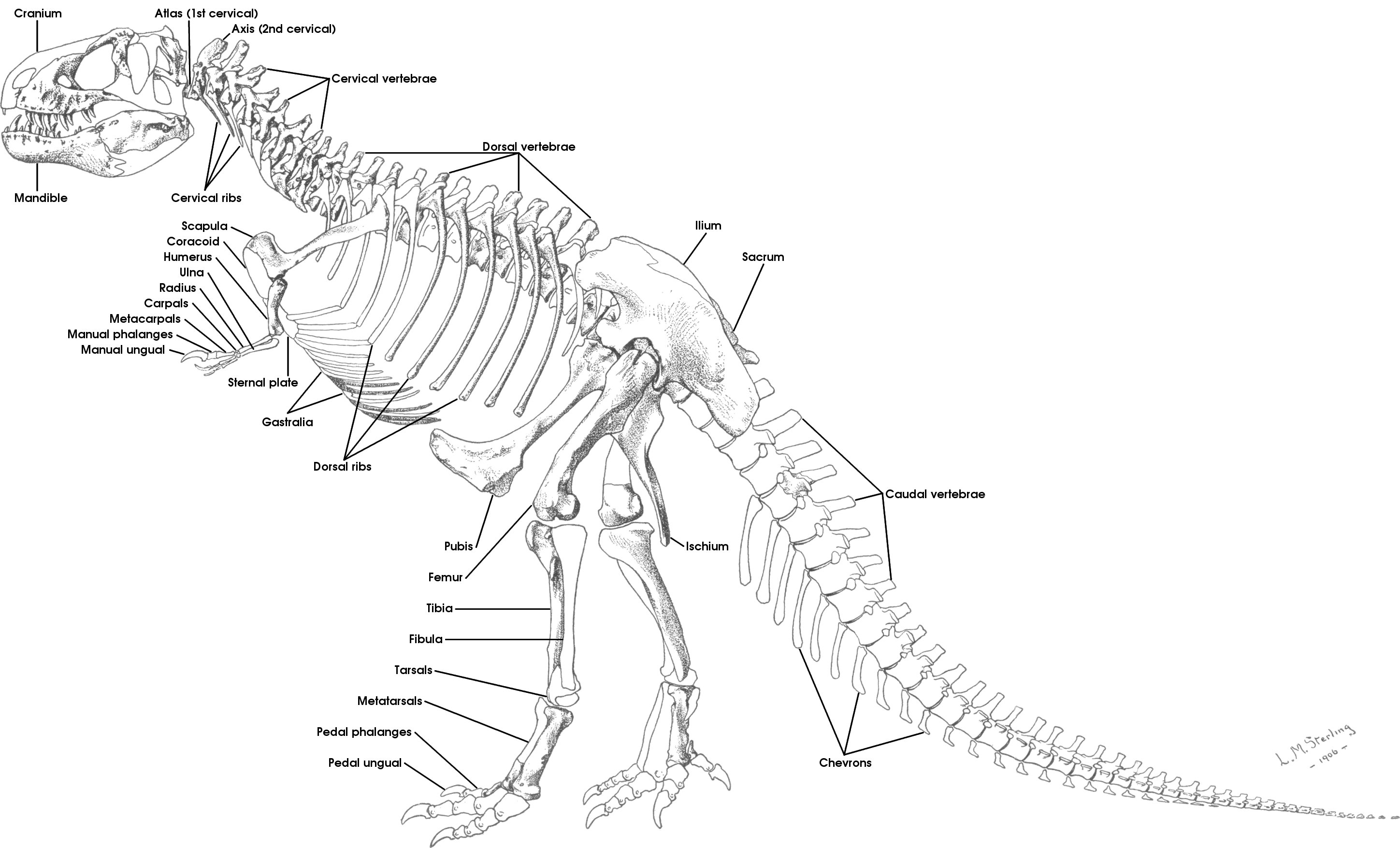 Tutorial 15b The Bones Of The Theropod Skeleton