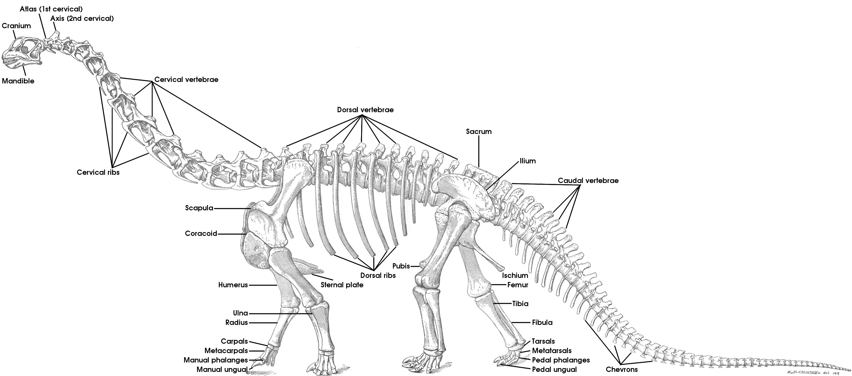 Skeletal Reconstructions