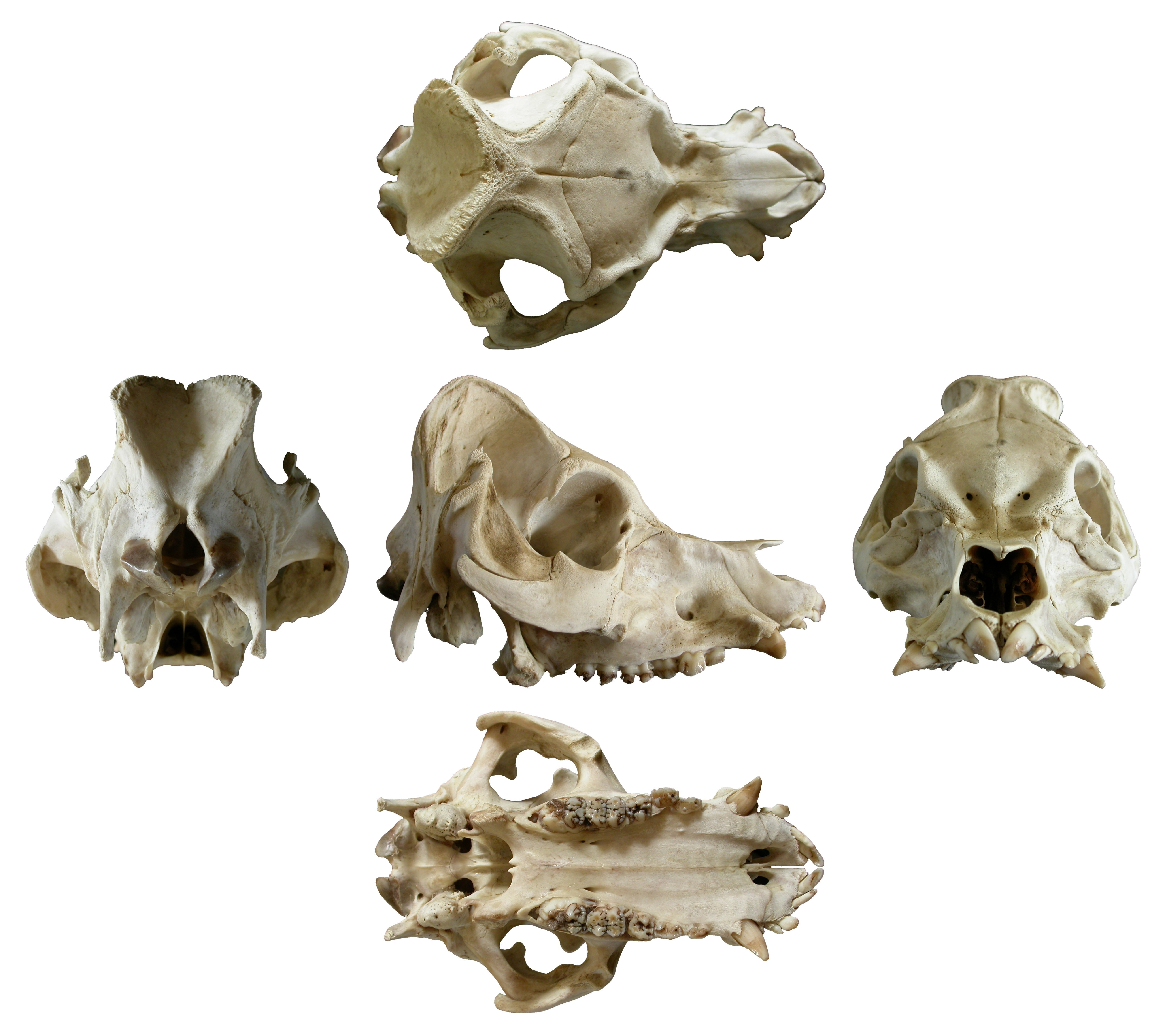 Here S That Sheep Skull Multiview You Ordered