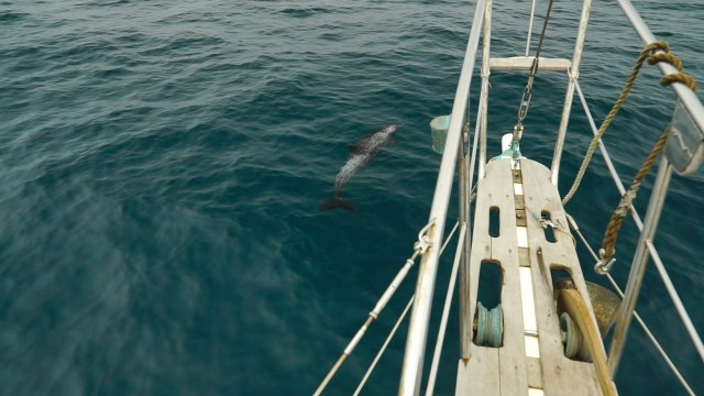 the lone dolphin