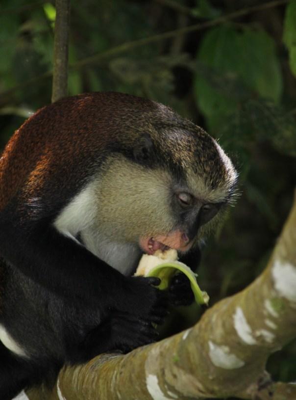 mona monkey in etang national park grenada (1)