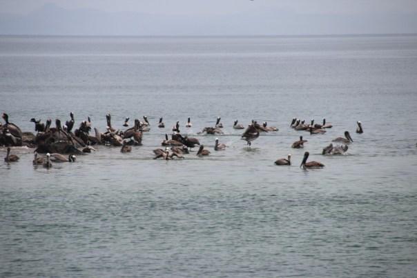 Pelikanen tijdens de siesta