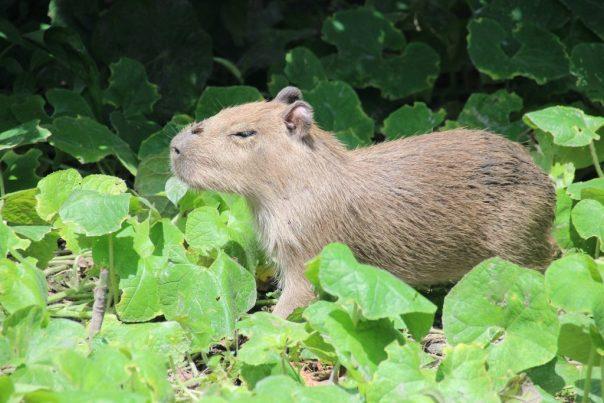 capybara, het grootste knaagdier ter wereld (ongeveer 40cm hoog)