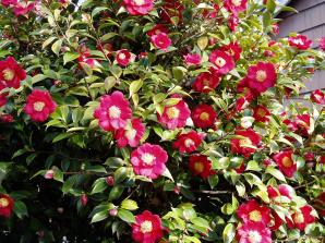 camellia, courtyard, may ms garden Victoria, Vancouver Island, BC, Pacific Northwest