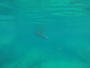 Isla Islotes_Sea lion underwater