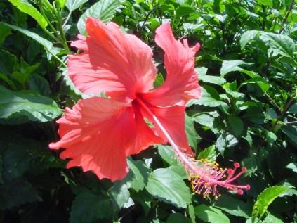 Hibiscus (Malvacée)