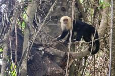 #Manuel Antonio_Capuchin monkey1