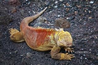 #Isla Santa Cruz_Charles Darwin Center_Land iguana