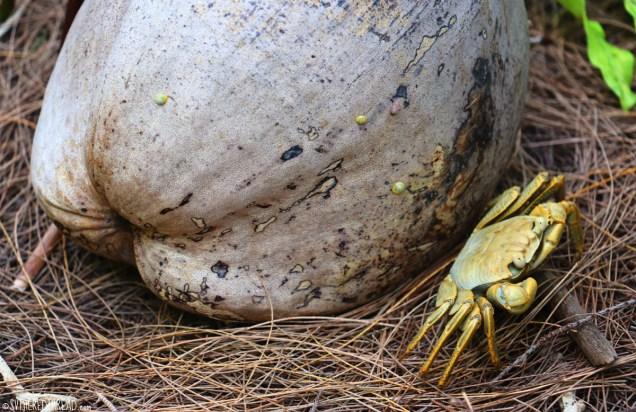 raivavae_motu-tuitui_tiny-yellow-crab