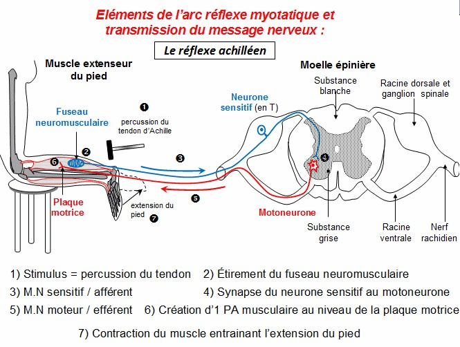 bilan réflexe myotatique