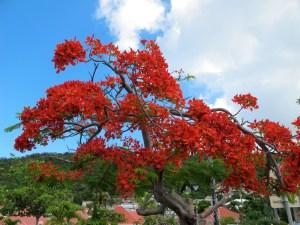 Poinciana tree (I think) - very pretty anyway