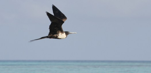 the magnificent frigate bird