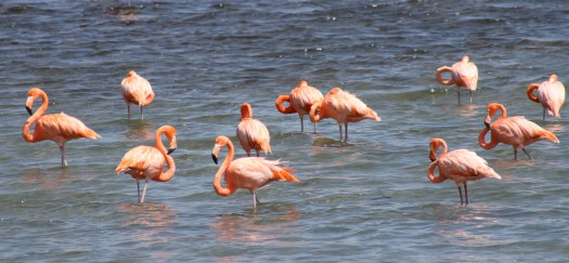 Flamingos in Washington-Slagbai National Park