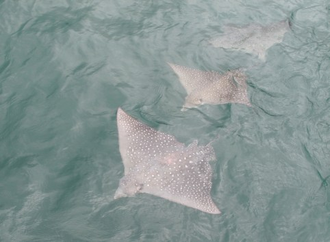 Eagle Ray swim-past in Nuku Hiva