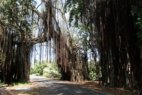 Giant Banyan trees on the island