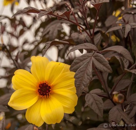 This flower was so interesting with brown foliage