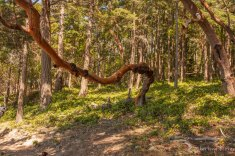 Twisty Madrone Tree