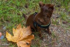 One big maple leaf, one little dog.