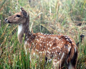 Spotted deer trying to hear any predator