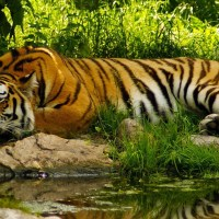 Global Tiger Conference in Dhaka next month