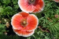 Kausani-Flowers15