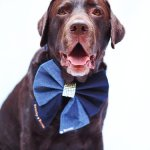 Chocolate Labrador wearing a denim sailor bow with swarovski crystals covering the centre.