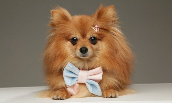 pomeranian-dog-swanky-paws-luxury-bow-sailor-bubblegum