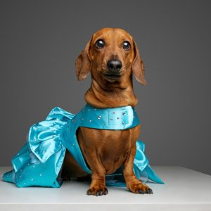 Luxury dog dress covered in Swarovski crystals from Swanky Paws to fit a Dachshund