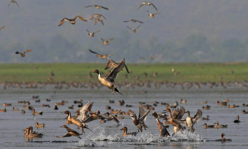 Migratory Birds at Tanguar Haor