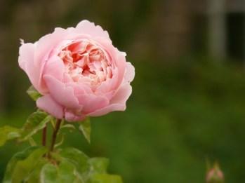a lone rose